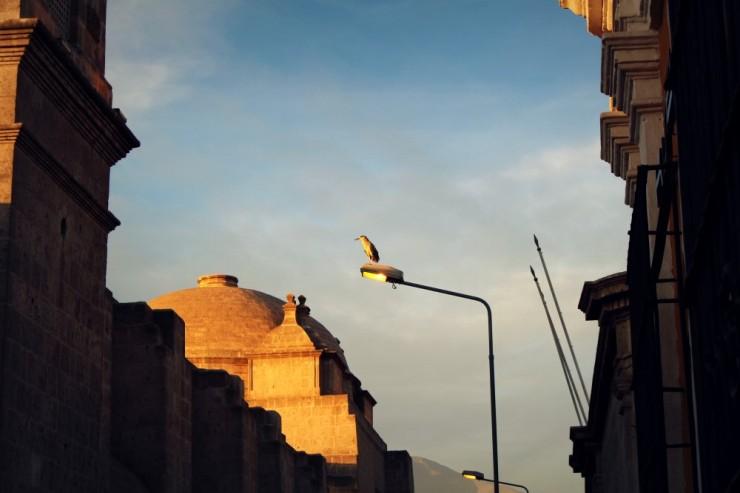 1944 Arequipa bird